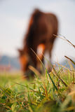 Horse eating in background. Grass macro with horse eating in the background Royalty Free Stock Images