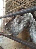 Horse eating bar. Will county fair royalty free stock photos