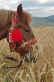Horse eating. A beautiful horse eating wheat on the field Royalty Free Stock Images