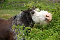 Horse eating a bush. Detail of horse eating a bush in Trish country side Stock Images