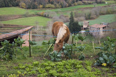 A horse eating cabbages from a kitchen garden Stock Images
