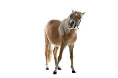 Horse eating carrot Royalty Free Stock Images