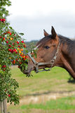 Horse eating cherry plums. Beautiful horse is eating cherry plums Stock Image