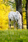 Horse eating clover Stock Photography