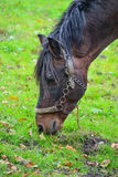 A horse eating corn Royalty Free Stock Image