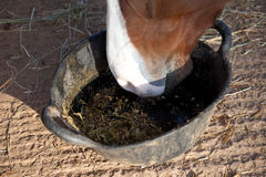 Horse eating feed from a bucket Stock Photos