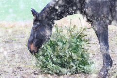 Horse eating fir tree in snowfall Royalty Free Stock Image