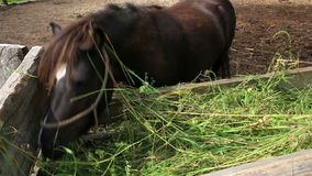 Horse eating fresh hay stock footage