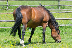 Horse. Eating gras from side royalty free stock image