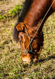 Horse eating grases Stock Photo