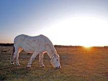 Horse eating grass. New Forest,England,with sun on the horizon Stock Image