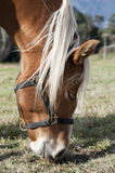 Horse eating grass Royalty Free Stock Photos