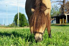 Horse eating grass. Miniature horse with long mane eating grass Stock Photography