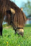Horse eating grass. A small brown horse with hairy long mane bends down to eat the grass Royalty Free Stock Photography