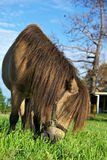 Horse eating grass. A small brown horse with hairy long mane bends down to eat the grass Stock Images