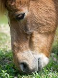 Horse eating grass Royalty Free Stock Images