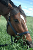Horse Eating Grass. Bay horse eating green grass in a field Royalty Free Stock Photography