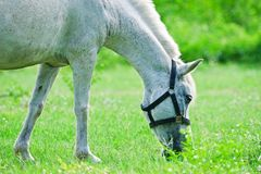 Horse eating grass. In field Stock Photos