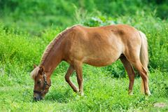 Horse eating grass. In field Royalty Free Stock Photography