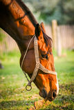 Horse. A horse eating grass royalty free stock photo