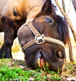 Horse eating grass. A brown horse eating grass under a fence Stock Image