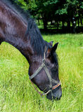 Horse eating the grass. Head of the horse eating the grass Stock Photos
