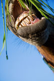 A horse eating grass Stock Images