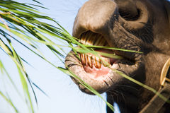 A horse eating grass Royalty Free Stock Image