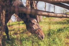 Horse Eating Grass Stock Photos