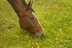 Horse eating. Grass on an autumn day, close-up Stock Photos