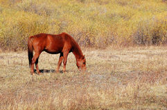 Horse eating grass in autumn prairie Royalty Free Stock Photos