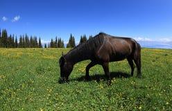 Horse eating grass. On beautiful mountain grassland Stock Photos