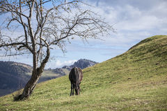Horse eating grass. Black horse grazing on a hill Stock Photography