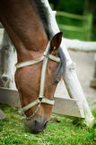Horse eating grass. A brown horse eating grass Stock Photos