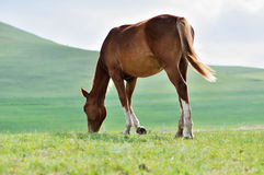 Horse eating grass. A brown horse eating grass Royalty Free Stock Image
