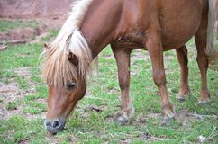 Horse eating the grass. Brown horse eating the grass on the farm meadow Stock Photo