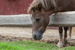 Horse eating grass Royalty Free Stock Image