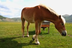 Horse eating grass in Castelluccio Royalty Free Stock Images