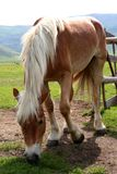 Horse eating grass in Castelluccio Royalty Free Stock Photos