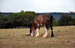 Horse eating grass on Churchill Island Heritage Farm Royalty Free Stock Image