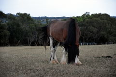 Horse eating grass on Churchill Island Heritage Farm Royalty Free Stock Photo
