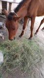 Horse eating grass. Close up of horse eating grass Stock Photos