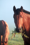 Horse eating grass close up Royalty Free Stock Images