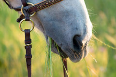 Horse eating grass. Closeup of the mouth of a white horse eating grass in the countryside Stock Photo