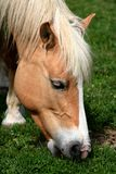Horse eating grass / detail Stock Images