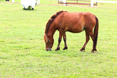 Horse eating grass Stock Image