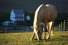 Horse eating grass with the farm house background during sunset Royalty Free Stock Photos