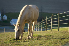 Horse eating grass with the farm house and fence background Stock Photography