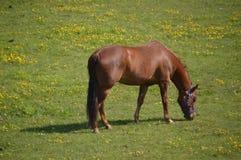 Horse Eating Grass. On a Farmland Stock Photography