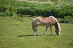 Horse Eating Grass. On a Farmland Royalty Free Stock Images
